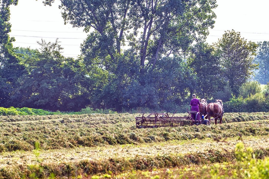 amish lady raking hay 20210706 _DSC3166 copy
