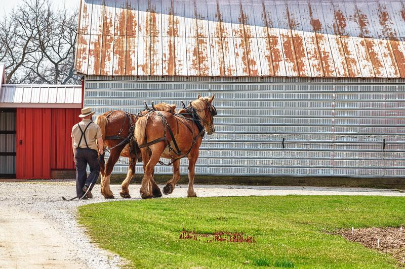 amish man work horses20200407 _DSC4901