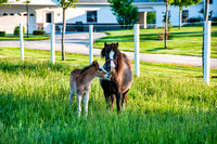 mare and foal spring grass _DSC2946
