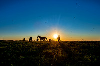 horses at sunset 20200920 _DSC7500