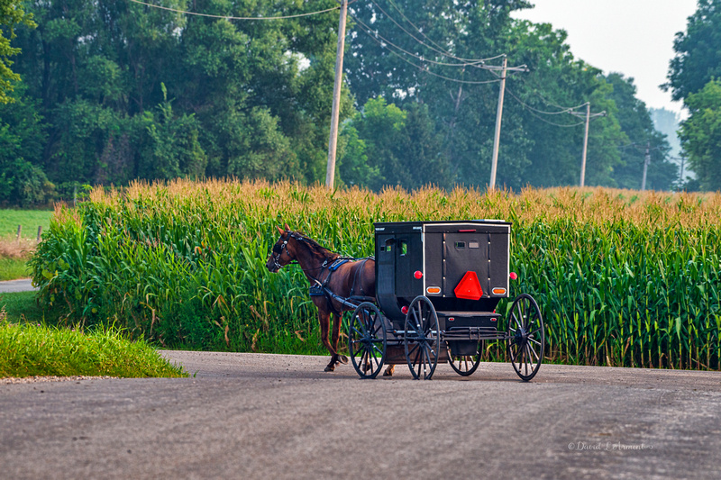 Amish buggy and tall corn 202107 _DSC3513 copy