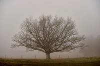 Lone Tree in the Fog