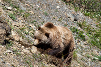 Grizzly Bear Digging