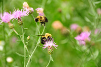 Bees and Thistle