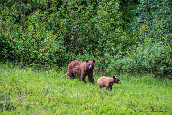grizzly and one cub 20170714 _DSC6404