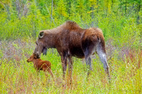 Female Moose Nuzzles Her Calf